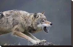Stretched Canvas Print: Gray Wolf snarling, North America by Tim Fitzharris : 12x18in