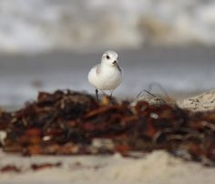 Sanderling- What a joy watching these little bird run up and down the beach. spotted at Silver Strand State Beach in San Diego, CA