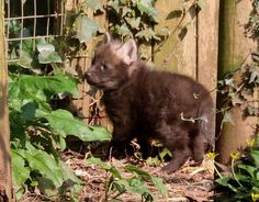 Paignton Zoo Environmental Park's South American Maned Wolves are rearing a litter of three pups! The pups were born Feb 23 to parents Tolock and Milla. Check out ZooBorns to learn more: http://www.zooborns.com/zooborns/2017/03/litter-of-elusive-maned-wolves-born-at-paignton-zoo.html