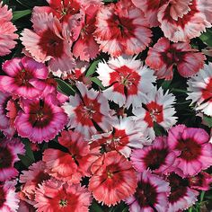 Super Parfait Mix Dianthus Seeds from Park Seed