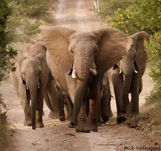 Beauiful elephants that can be seen on safari in South Africa. Private Games, Game Reserve, African Elephant, Kenya, Elephants, South Africa, Safari, Wildlife, Reiki