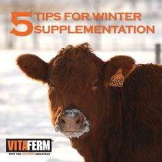 5 Tips for Winter Supplementation of the Beef Cow Herd - VitaFerm Types Of Cows, Miniature Cattle, Mini Cows, Mini Farm, Raising Cattle, Show Cattle, Cattle Farming, Goat Farming, Ranch