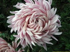 Chrysanthemum also yet to be identified