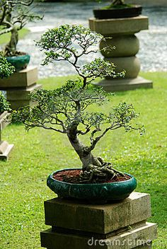 indoor bonsai? | Indoor Bonsai Tree In A Pot Royalty Free Stock Photo - Image: 7144445