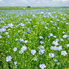 Plants your foods grow on.- It's amazing how disassociated we are from our food sources. Did you know flax seed comes from a plant with pretty blue flowers?