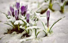 . Spring Has Sprung, Rubrics, Home And Garden, Herbs, Snow, Black, Winter, Flowers, Black People