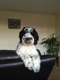 I love this picture of my black and white cockapoo (I think thats how you spell it) Cute Puppies Images, Puppy Images, Cute Puppy Pictures, Cute Dogs And Puppies, Dog Pictures, Black Cockapoo, Cute Puppy Wallpaper, White Puppies, Doodle Dog