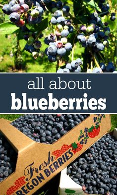 All About Blueberries: Everything you need to know about blueberries -- nutritional benefits, when to pick, and tons of blueberry recipes!