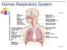 Diagram of the respiratory system from the free anatomy study guide respiratory system google search ccuart Choice Image