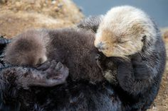 Sea Otter gives birth to newborn pup in Monterey Bay Aquarium Tide Pool. Photo: Tyson V. Monterey Bay Aquarium, Birth Giving, Baby Sea Otters, Otter Love, River Otter, Central California, Tide Pools, Brown Bear, Mammals