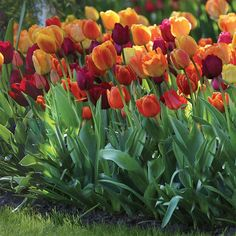 Tulip Triumph Brilliant Mix. This exclusive tulip mix includes a perfect harmony of warm, sunny hues. Great curb appeal and a good choice for cutting gardens.