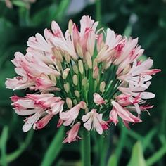 Agapanthus orientalis Strawberry Ice has white flowers with pink highlights from December to January. It has a low seed set, which means it has a lower seed viability than other Agapanthus therefore is safer to grow in sensitive areas. It is drought resista...