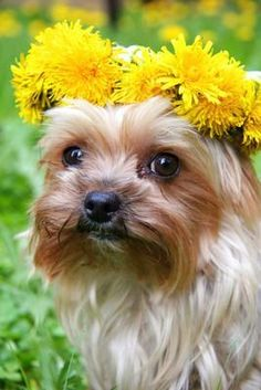 Yorkie flower girl #yorkshireterrier  check out http://www.upscaledogtoys.com - excellent dog toys at a great price. visit our sister site - http://www.bottlemeamessage.com great gift