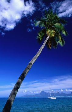 Coconut Tree by Moorea Island (French Polynesia). Photography by Holger Leue