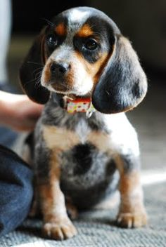 Bluetick Coonhound Dog - I WANT!!