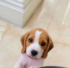 Cute Beagles, Cute Puppies, Cute Dogs, Dogs And Puppies, Doggies, Sweet Dogs, Dachshunds, Pet Ramp, Dog Tags Pet