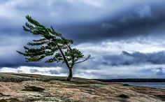 🇨🇦 Windswept Pine Tree (Killbear Provincial Park, Ontario) by B. Pine Tattoo, Tree Tattoo Arm, Deer Tattoo, Raven Tattoo, Tattoo Ink, Sleeve Tattoos, Tree Photography, Background For Photography, Landscape Photography