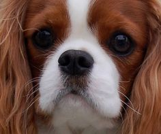 Beauty Puppies And Kitties, Cute Cats And Dogs, Doggies, Cavalier King Charles Dog, King Charles Spaniel, Dog Rules, My Animal, Kittens Cutest, Pet Birds