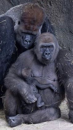Majestic Animals, Like Animals, Zoo Animals, Animals Beautiful, Baby Gorillas, Mountain Gorilla, Chimpanzee, Orangutans, Primates