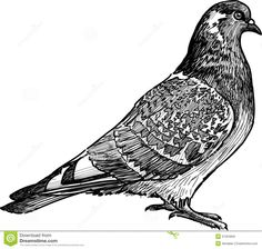 pigeon drawing - Google Search