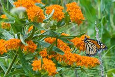 Butterfly Milkweed (Asclepias tuberosa)  Native to most of North America except for the Canadian Atlantic provinces and northwestern states and provinces Hardy to -40 degrees Fahrenheit (USDA zones 3a to 10b;  HOST PLANT FOR MONARCH BUTTERFLIES!