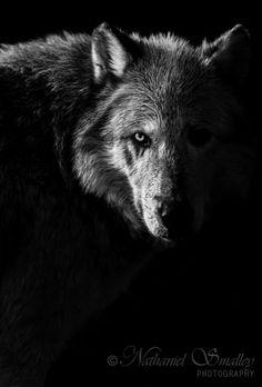 Warpaint Gray Wolf by Nathaniel Smalley Wolf Spirit Animal, Wild Animals Photos, White Wolf, Gray Wolf, Pet Monkey, Wolf Love, Wild Creatures, Mystique, Wild Dogs