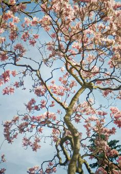 A beautiful Magnolia in the park