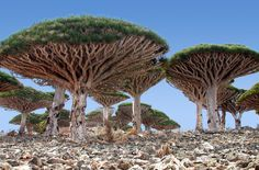 Dragon Blood Tree Socotra