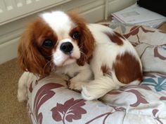 Cavalier King Charles spaniel how cute!