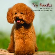 Toy Poodles Wall Calendar: This 2013 wall calendar features a dozen images of cuddly Toy Poodles. The perfect gift for anyone who loves these wonderful dogs!  http://www.calendars.com/Poodles/Toy-Poodles-2013-Wall-Calendar-/prod201300001862/?categoryId=cat10063=cat10063#