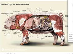 pig anatomy Large Animal Vet, Large Animals, Vet Tech Student, Vet Assistant, Animal Medicine, Pet Vet, Pig Farming, Animal Nutrition, Animal Science