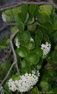 hoya parviflora | Flowers, Cacti and Flora