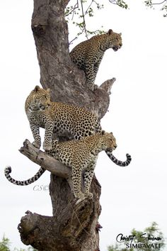 Leopardess Nthombi and her twin cubs up a tree at Simbavati River Lodge, SAby Christof Schoeman Wildlife Photography
