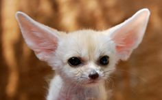 beautiful pictures of fennec fox  (Kelsey Waite 1920x1200)