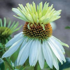 - Mount Hood Coneflower