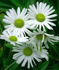 White daisies with green centers.
