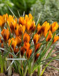 Kultasahrami Orange Monarch