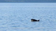 Newest member of the resident community: L122 surfaces on his own behind mom.  Photo taken in Haro Strait on October 13th.