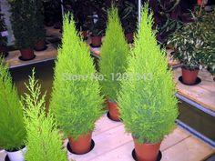 vendita caldo 50 pz cipressi platycladus orientalis tuia orientale semi di conifere semi giardino domestico di diy spedizione gratuita