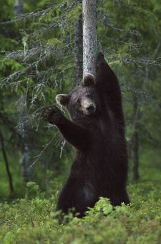 """A brown bear appears to wave while scratching its back against a tree Brown bear appears to wave to photographer while scratching back against tree, Finland - 16 Jul 2015. Tom Mason comments: """"After many years of wanting to I headed out to Finland in order to photograph brown bears in the wild. """"After 8 hours of waiting, at around 11pm at night, this large male bear decided he had an itch."""""""