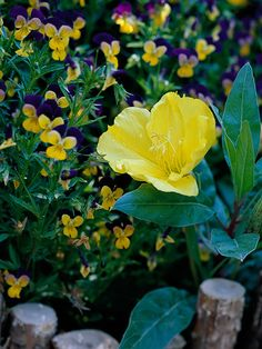 Sundrops:  Enjoy the cheery yellow blooms of sundrops all the way from spring to early fall. This vigorous perennial takes heat and drought like a champion. Note, though: It can become aggressive in the garden, especially if you have rich soil.    Name: Oenothera macrocarpa    Conditions: Full sun and well-drained soil    Size: To 6 inches tall    Zones: 5-8