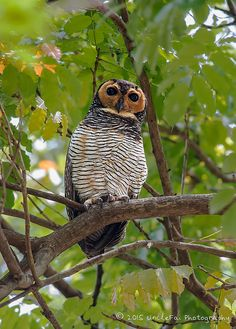 Spotted Wood-Owl (Strix seloputo 点斑林鸮) | Explore UncleFai's … | Flickr - Photo Sharing!