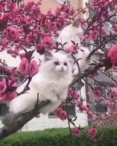 Cherry Blossom Kittieshttps I Imgur Com Emle6p5 Gifv Kitten Cuddle Funny Cats And Dogs Cherry Blossom