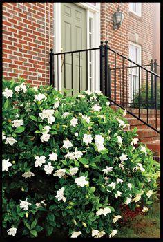 Classic Southern Plants Gardenia <br /><em>Essential Southern Plant</em>