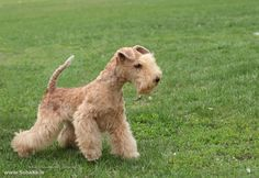 Lakeland Terrier photos and wallpapers. The beautiful Lakeland Terrier pictures Fox Terrier, Irish Terrier, Terrier Breeds, Airedale Terrier, Dog Breeds, Terriers, Lakeland Terrier, World Cutest Dog, Pet Dogs