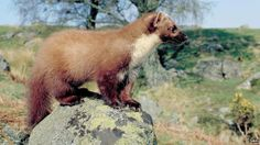 Scots Pine Marten Recovery Spreads South | BBC News
