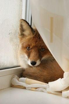 New favorite fox photo