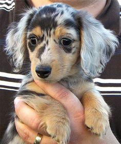 Long Haired Dapple Dachshund Puppy Photos