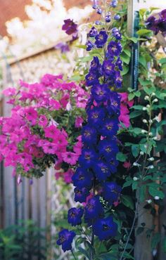 Common Name- Delphinium Botanical Name- Delphinium 'Black Knight' The pink wave petunias in a hanging pot and the deep blue delphinium make a lovely combination. Deer Resistant Perennials, Blue Delphinium, Garden Pictures, Hanging Pots, Petunias, Outdoor Spaces, Color Mixing, Shades, Deep Blue