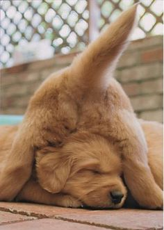 Golden Puppy Golden Retrievers sleep anywhere they want! Cute Puppies, Cute Dogs, Dogs And Puppies, Doggies, Corgi Puppies, Baby Dogs, Cute Baby Animals, Funny Animals, Animals Dog
